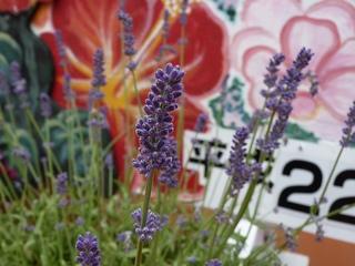 nagasaki_lavender.jpg