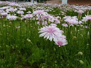 pink_dandelion.jpg